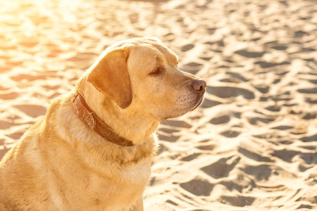 Yellow Labrador Retriever sitting on the beach, green trees is in the background. The dog sits on the sand, looks away. Sun flare