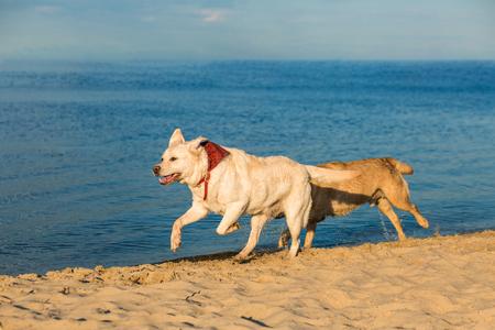 Golden Labrador retrievers having fun running along beach