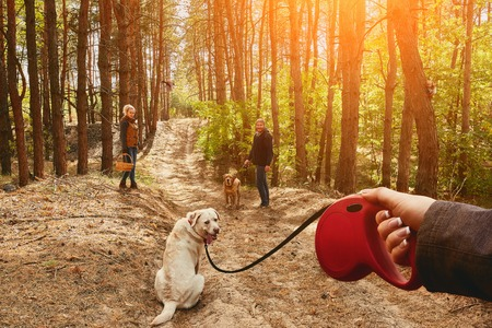 endear: The girl on a leash leads a Labrador dog, which turns around and looks into the camera.