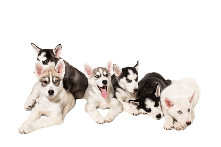 Group of happy siberian husky puppies on white background