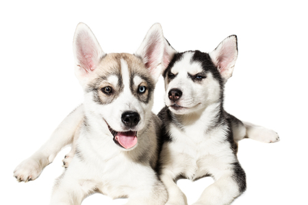 Two cute little husky puppies isolated on white background