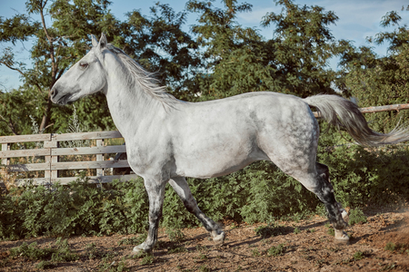 Thoroughbred horse in a pen outdoors