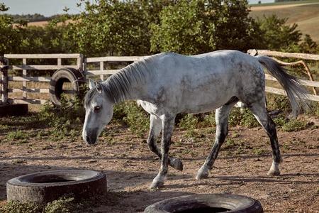 Beautiful, quiet, white horse waits in paddock