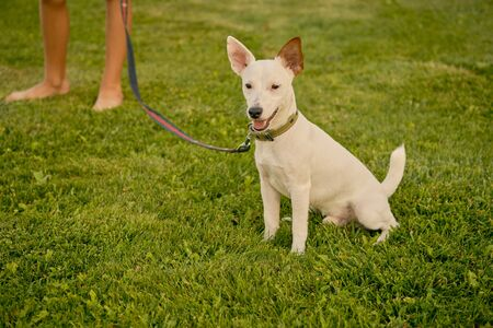Nice dog Parson Russell Terrier breed in a collar and on a leash is sitting o a green grass of a park. His owner is standing nearby. White pup with a brown ear. Summer time or the beginning of an autumn. Nature. Pet care and training concept.