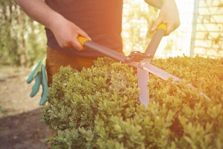 Man with hands is trimming a green shrub using hedge shears on his backyard. Gloves are in his pocket. Professional pruning tool. Close up Standard-Bild