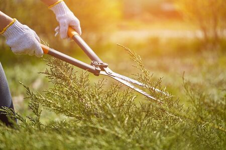 Hands of gardener in white gloves are trimming the overgrown green shrub using hedge shears on sunny backyard. Worker landscaping garden. Close up Stock Photo