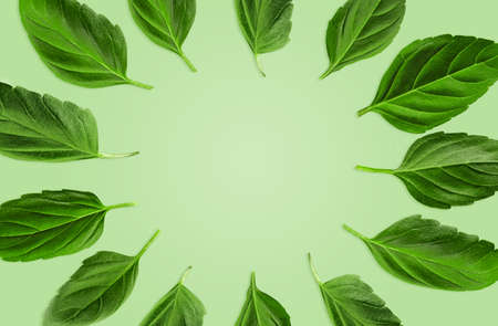 Green leaves of basil are laid out in a circle against mint background. Botanical pattern, collage. Close up, copy space, top view