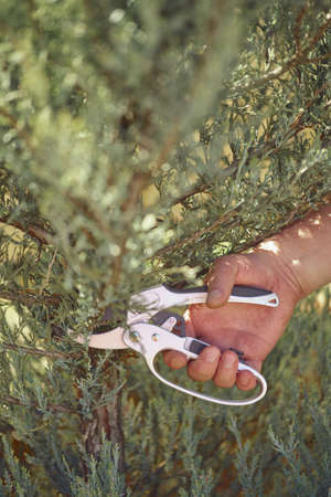 Bare hand of unrecognizable grower is clipping green thuja or juniper with sharp pruning shears in sunny park. Worker landscaping garden. Close up