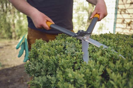 Man with bare hands is trimming a green shrub using hedge shears on his backyard. Gloves are in his pocket. Professional pruning tool. Close up 版權商用圖片 - 151849903