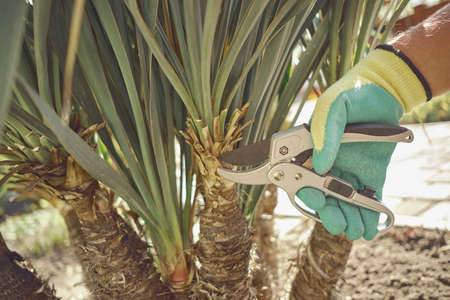 Hand of unrecognizable grower in colorful glove is clipping green yucca or small palm tree with pruning shears in sunny park. Pruning tool. Close up 版權商用圖片 - 151849907
