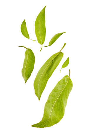 Flying light green leaves of plum tree or tea, isolated on white background. Food levitation concept. Close up, copy space