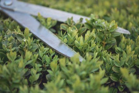 Sharp hedge shears are on an overgrown green bush, on backyard. Landscaping garden, clipping hedge in summer. Sunny day. Close up