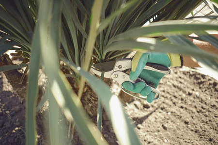 Hand of unknown human in colorful glove is cutting green yucca or small palm tree with pruning shears on sunny garden. Landscaping backyard. Close up 版權商用圖片 - 151849820
