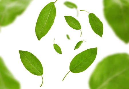 Falling green leaves of plum tree or tea, isolated on white background. Botanical pattern, collage. Close up, copy space, top view