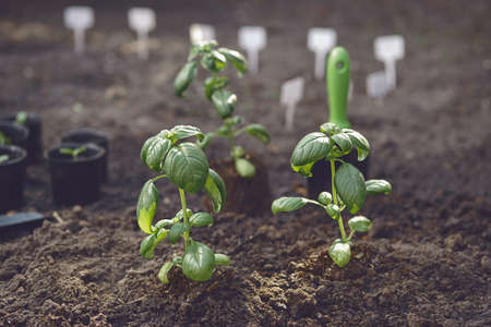 Just planted green basil sprouts in soil. Organic eco seedling. Gardening concept. Sunlight, ground, small garden shovel. Close up 版權商用圖片
