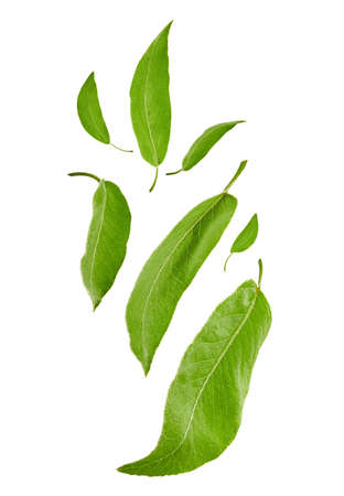 Flying fresh green leaves of plum tree or tea, isolated on white background. Botanical pattern, collage. Close up, copy space