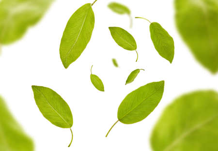 Flying light green leaves of plum tree or tea, isolated on white background. Botanical pattern, collage. Close up, copy space, top view 版權商用圖片 - 151849855