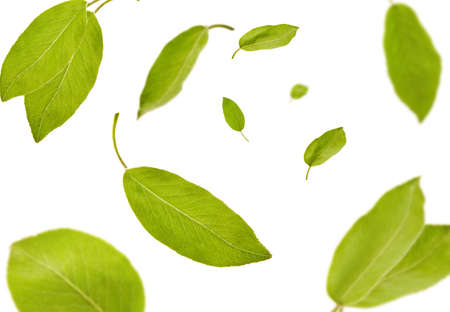 Green leaves of plum tree or tea are falling down, isolated on white background. Botanical pattern, collage. Close up, copy space, top view 版權商用圖片