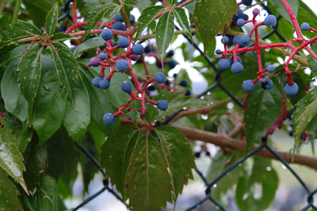 chain fence: blueberries on a chain fence after rain