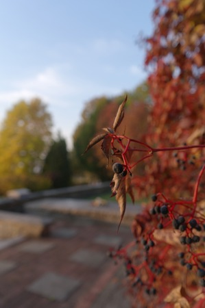 quick hedge: autumnal berries