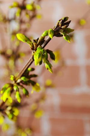 twig: buds on a twig