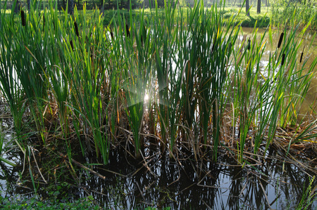 haulm: reed at the pond in a sunny day Stock Photo