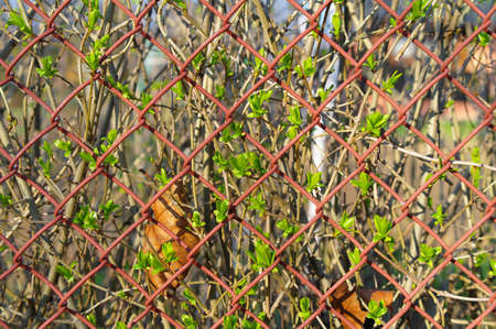wire fence: first spring buds seen through wire fence
