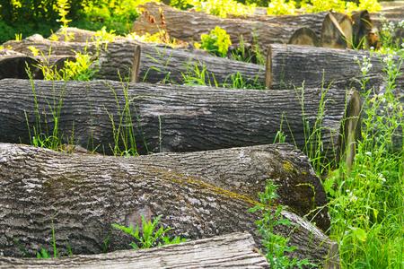 boles: few felled boles lying in the forest