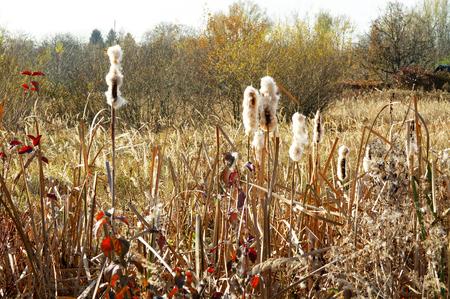 cattails: autumnal fluffy cattails on a wilderness in a sunlight