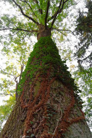convolvulus: big old tree overgrown with a convolvulus