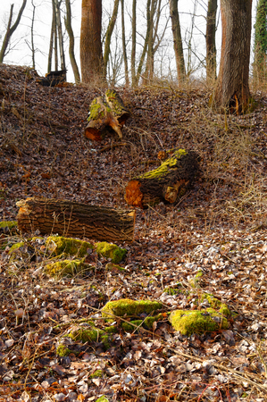 felled: mossy felled tree trunks on the wilderness