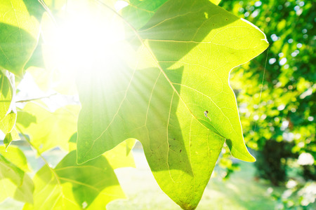 sunbeams: green leafs in the bright morning sunbeams Stock Photo