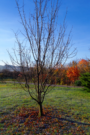 leafless: leafless tree on meadow at the autumnal cold sunny day