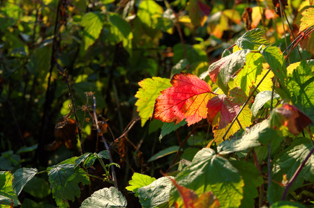 Colorful autumnal leafs illuminated by the sun