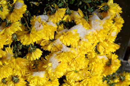 snow covered chrysantemum flower at the sunny winter day