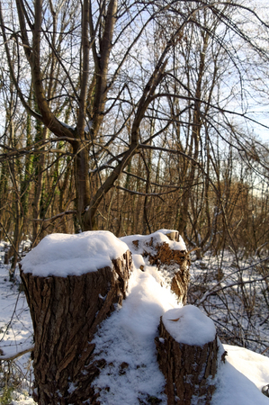 closeup of the snow covered tree trunks in forest