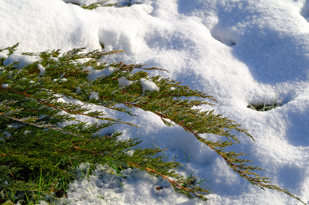 green branch in the snow at the sunny day 写真素材