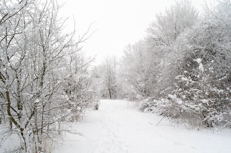 snow covered leafless trees and path in the wild 写真素材