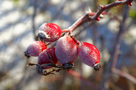 closeup of the red frozen hawthorn on a twig