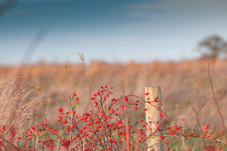 hedgerow: Wild berries growing in a country field Stock Photo