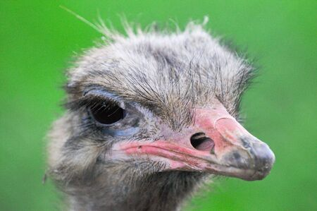 quizzical: Ostrich close up Stock Photo