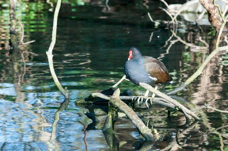 moorhen: Moorhen on a branch with refelections in the water below