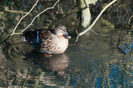 circular water ripple: A duck with ripples and a reflecetion in a pond