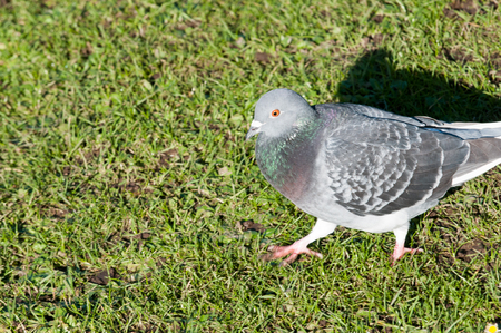 vermin: Pigeon walking on grass in a sunny park