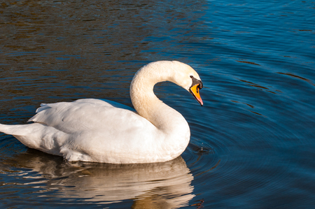refelction: Close up of a white swan on a sunny lake
