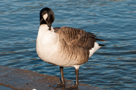 aggresive: Close up of a goose in a sunny lake Stock Photo