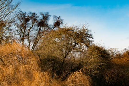 sil: Rooks nesting high in the trees with blue skies Stock Photo