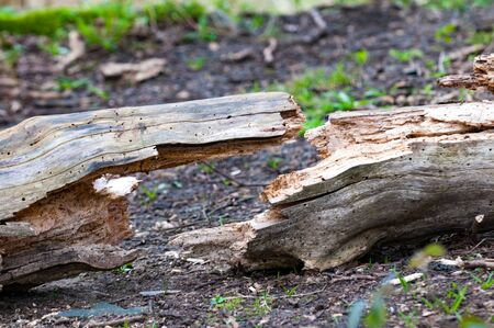 snapped: cracked log forming a symetrical shape on the forest floor