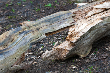 severed: cracked log forming a symetrical shape on the forest floor