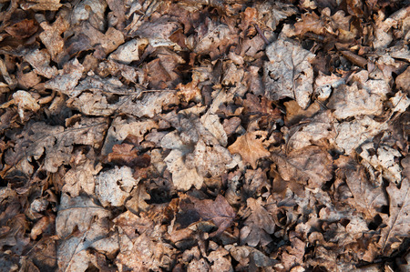 Brown leaves covering the forest floor in Autumn Stock Photo